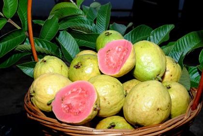 Paulo Lanzeta - O estudo vai focar novas cultivares de goiaba no bioma Caatinga.