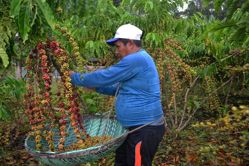 Síglia Souza - Colheita do café em Silves, Amazonas