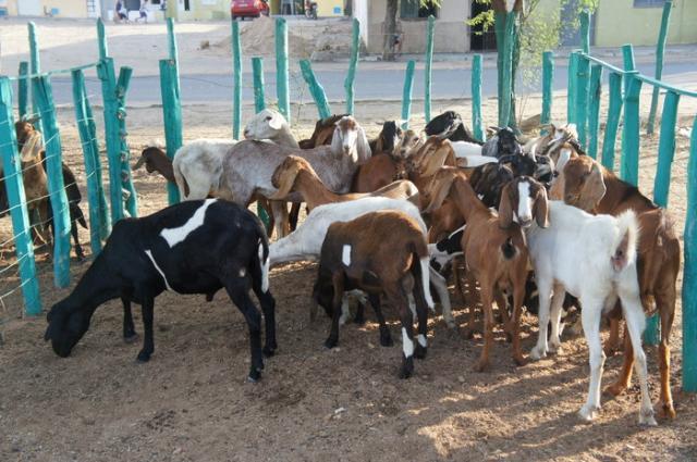Adilson Nóbrega - Proposta da oficina é debater aspectos centrais para desenvolvimento das cadeias de carne caprina e ovina