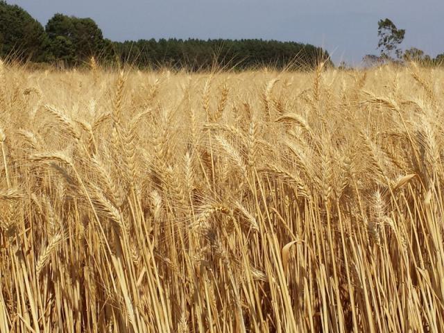 ALBRECHT, Júlio - Cultivar de trigo irrigado para o Cerrado BRS 394