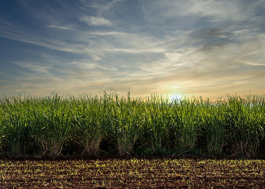 iStock - A palha da cana-se-açúcar pode ser usada como matéria-prima para obtenção dos chamados greens materials (materiais verdes)