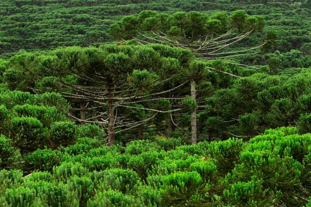 Resultado de imagem para Florestas com araucária estão ameaçadas de extinção