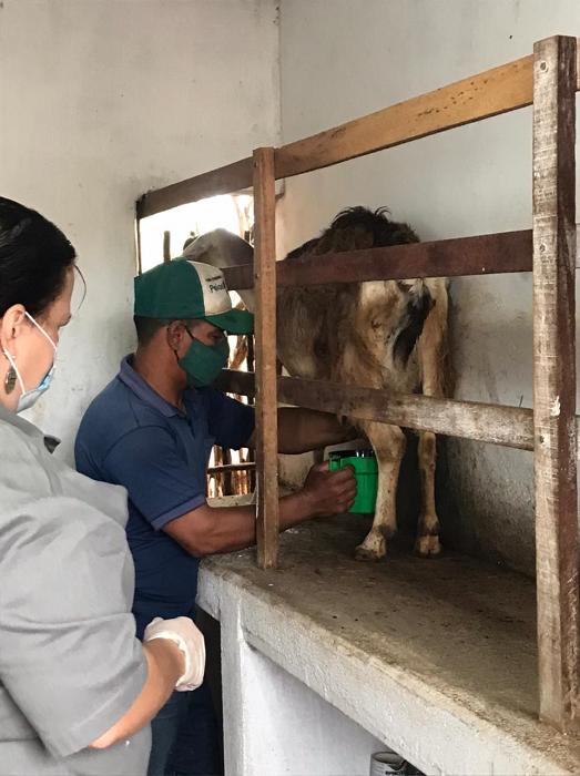 Leandro Oliveira - Pesquisadora Viviane Souza orienta manejo para ordenha higiênica