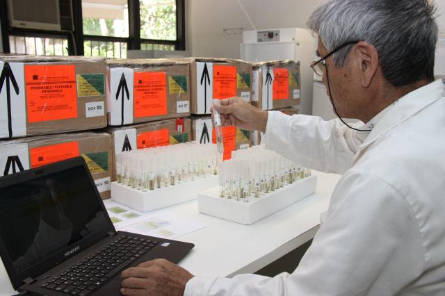 Claudio Bezerra - O pesquisador Kazumitsu Matsumoto confere as amostras de batata in vitro que chegaram do Peru