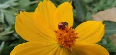 Halina Schultz - Algumas espécies de planta atraem insetos benéficos à lavoura