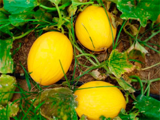 Resultado de imagem para produção de melao