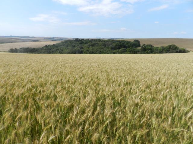 Genei Dalmago - Ambiente para o trigo no Uruguai é semelhante ao RS