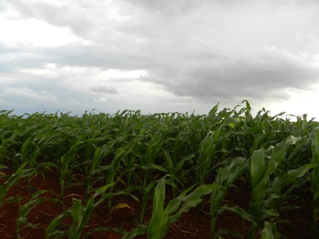 Joseani Antunes - Excesso de chuva prejudicou o milho