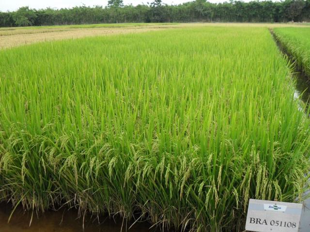 Ariano Martins - A BRS Pampeira é de ciclo longo e possui alto potencial produtivo, acima de 10 toneladas/hectare.