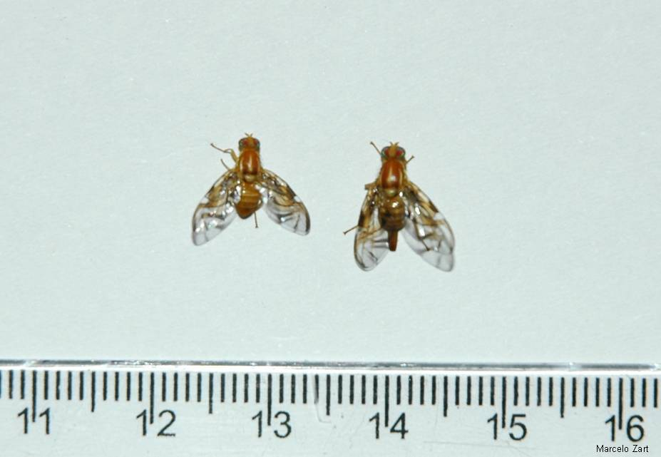 Mosca-das-Frutas-Sulamericana (Anastrepha fraterculus)